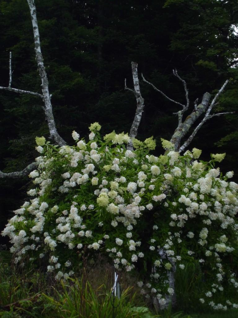 Hydrangeas with dead tree