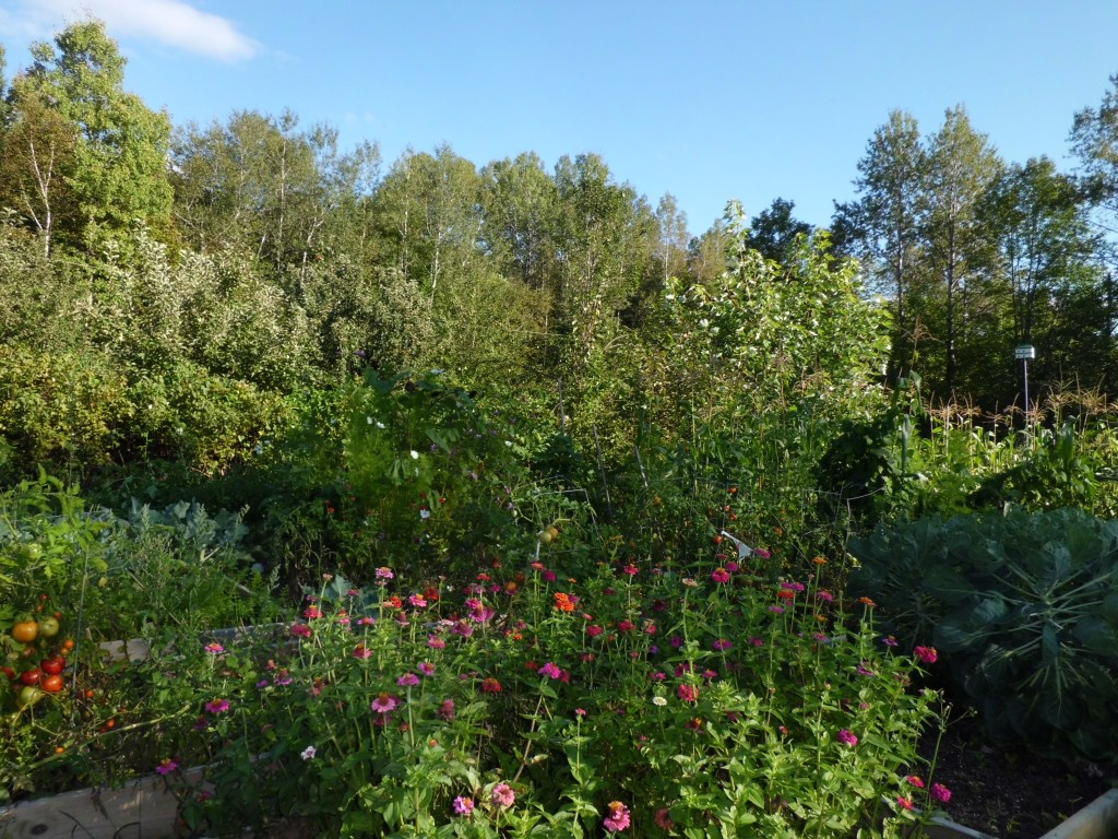 Zinnias rule the garden!