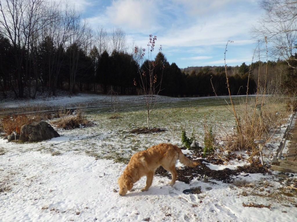 Hank eats snow