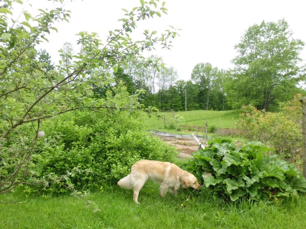 Hank likes to run around the garden and sample the tasty treats.