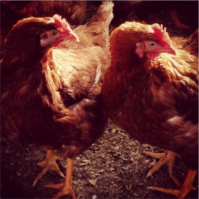 121223-chickens