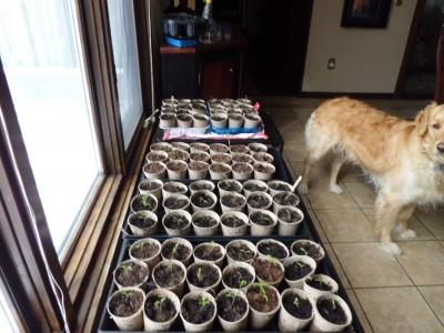 Tomato, Leek and Green Pepper seedlings. Hank approves.