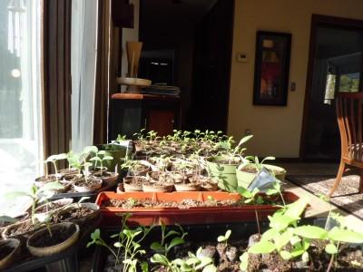 Sunny window Tomatoes